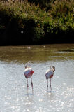 Flamingos in Camargue. In the vicinity of Saintes-Maries-de-la-Mer in Languedoc-Roussillon Stock Photo