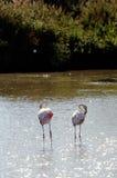 Flamingos in Camargue Stock Photo