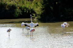 Flamingos in Camargue Royalty Free Stock Photography