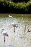 Flamingos in Camargue. In the vicinity of Saintes-Maries-de-la-Mer in Languedoc-Roussillon Stock Photos