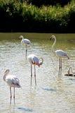 Flamingos in Camargue Stock Photos