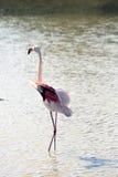 Flamingos in Camargue Stock Image