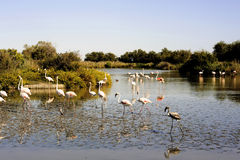 Flamingos in Camargue. In the vicinity of Saintes-Maries-de-la-Mer in Languedoc-Roussillon Royalty Free Stock Images