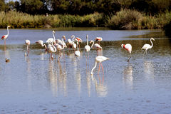 Flamingos in Camargue. In the vicinity of Saintes-Maries-de-la-Mer in Languedoc-Roussillon Royalty Free Stock Photography