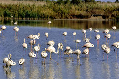 Flamingos in Camargue. In the vicinity of Saintes-Maries-de-la-Mer in Languedoc-Roussillon Royalty Free Stock Image