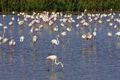 Flamingos in Camargue. In the vicinity of Saintes-Maries-de-la-Mer in Languedoc-Roussillon Stock Images