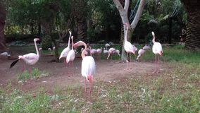 Flamingos in Canary Islands stock footage