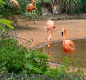 Curved neck-Flamingo at the side of the pond-Phoenicopteridae. Flamingos are about 80-160 centimeters tall and weigh 2.5-3.5 kilograms. The male is slightly royalty free stock photos
