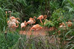 Flamingo at the side of the pond-Phoenicopteridae. Flamingos are about 80-160 centimeters tall and weigh 2.5-3.5 kilograms. The male is slightly larger than the royalty free stock photo