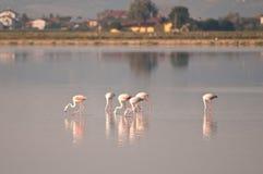 Flamingos at cervia saltworks royalty free stock photos