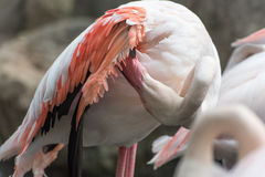 Flamingos in Chiang Mai Zoo Royalty Free Stock Photography