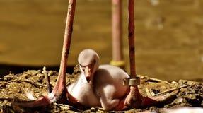 Flamingos, Chicks, Cute, Birds Royalty Free Stock Photography