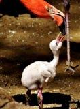 Flamingos, Chicks, Cute, Birds Stock Photos