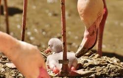 Flamingos, Chicks, Cute, Birds Royalty Free Stock Photo