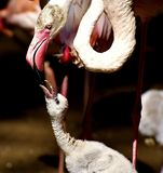 Flamingos, Chicks, Cute, Birds Royalty Free Stock Photos