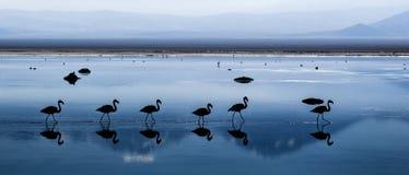 Flamingos chilenos Imagem de Stock Royalty Free