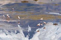 Flamingos on Chungara lake (Chile) Stock Images