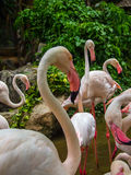 Flamingos. Close up of flamingos in zoo Stock Photos