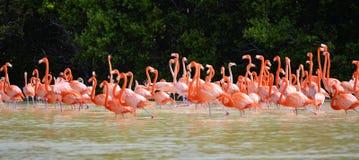 Flamingos cor-de-rosa Imagem de Stock Royalty Free