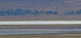 Flamingos cor-de-rosa foto de stock