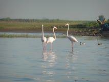 Flamingos cor-de-rosa fotografia de stock