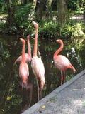 Flamingos cor-de-rosa bonitos Imagens de Stock Royalty Free