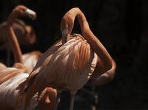Flamingos cor-de-rosa com fundo preto Fotografia de Stock Royalty Free