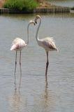Flamingos cor-de-rosa em Camargue Fotografia de Stock Royalty Free