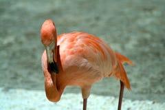 Flamingos cor-de-rosa em um fundo cinzento-azul Imagem de Stock