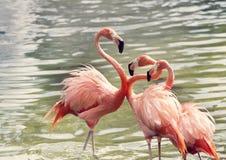 Flamingos cor-de-rosa na água imagens de stock royalty free