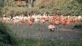 Flamingos cor-de-rosa na lagoa no jardim zoológico filme