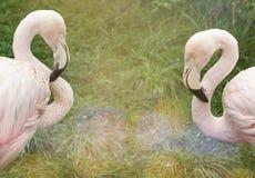Flamingos cor-de-rosa na natureza Copie o espaço Imagem de Stock