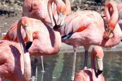Flamingos cor-de-rosa no deserto imagens de stock
