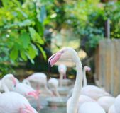 Flamingos cor-de-rosa no habitat natural Fotografia de Stock Royalty Free