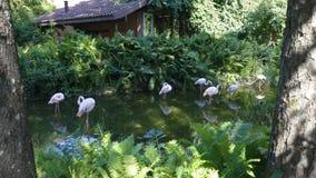 Flamingos cor-de-rosa no jardim zoológico filme