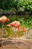 Flamingos cor-de-rosa no jardim zoológico, Cali, Colômbia Imagem de Stock
