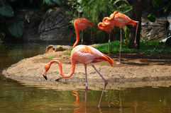 Flamingos cor-de-rosa no jardim zoológico, Cali, Colômbia Fotografia de Stock