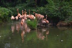 Flamingos cor-de-rosa no lago fotografia de stock
