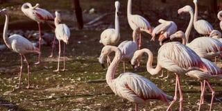 Flamingos cor-de-rosa no rebanho do jardim zoológico fotografia de stock royalty free