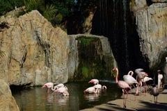 Flamingos. A couple of flamingos in a lake under a waterfall Stock Photos