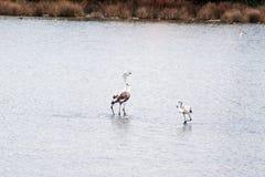 Flamingos couple Royalty Free Stock Photos