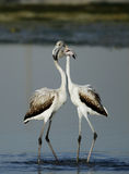 Flamingos in courtship Stock Photography