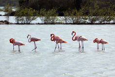 Flamingos at Curacao Royalty Free Stock Photography