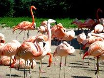 Flamingos da sesta Fotografia de Stock Royalty Free