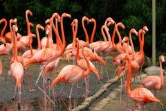 Flamingos das caraíbas Foto de Stock Royalty Free