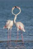 Flamingos de cortejo Fotografia de Stock