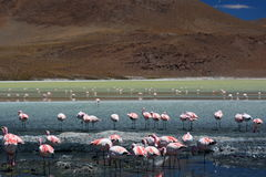 Flamingos de James em Laguna Hedionda Departamento de Potosà bolívia Fotografia de Stock Royalty Free