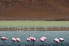 Flamingos de James em Laguna Hedionda Departamento de Potosà bolívia Foto de Stock Royalty Free