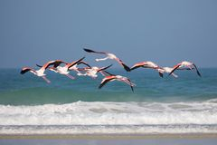 Flamingos in the De Mond coastal nature reserve, South Africa. Swarm of flying Flamingos in the De Mond coastal nature reserve, South Africa, with blue Indian stock photos