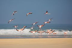 Flamingos in the De Mond coastal nature reserve, South Africa. Swarm of flying Flamingos in the De Mond coastal nature reserve, South Africa, with blue Indian royalty free stock photography